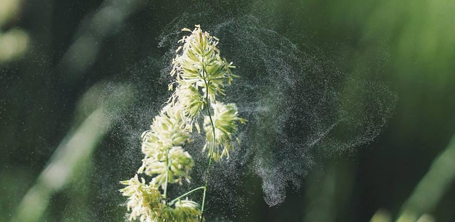 polenul si polinoza