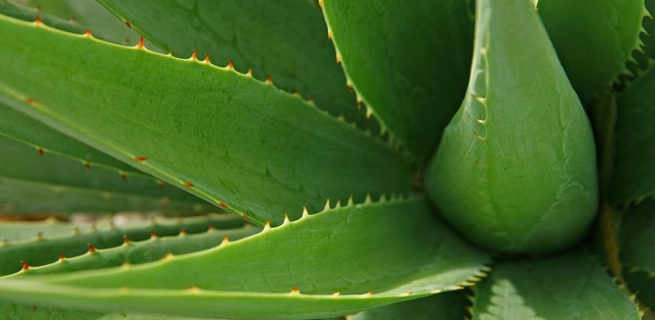 Tratament cu aloe vera – boli in care este util