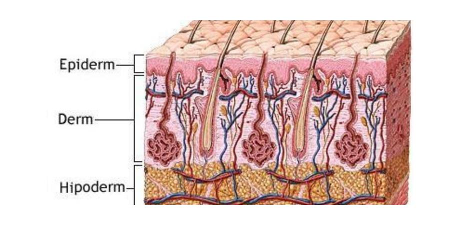 pielea straturile pielii