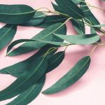 Eucaliptul – beneficii, utilizare, contraindicatii
