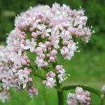 Valeriana – beneficii, utilizare, reactii adverse