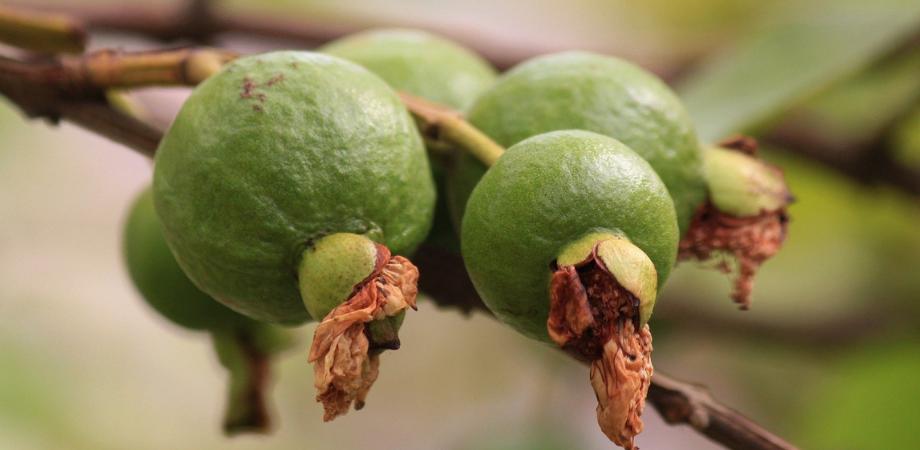 fructul guava ce contine