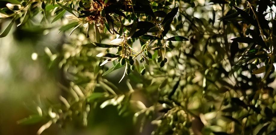 Cum se obtine si ce contine uleiul de masline?