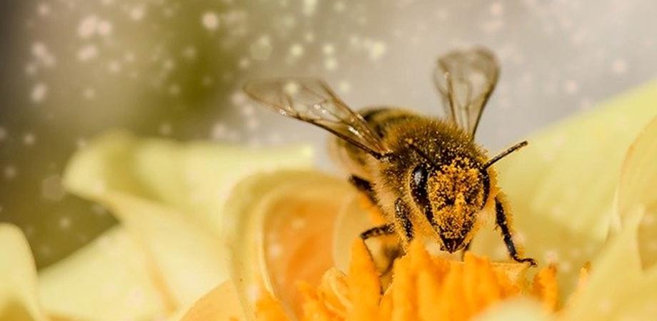 ce este polenul