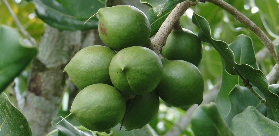 arbore de macadamia