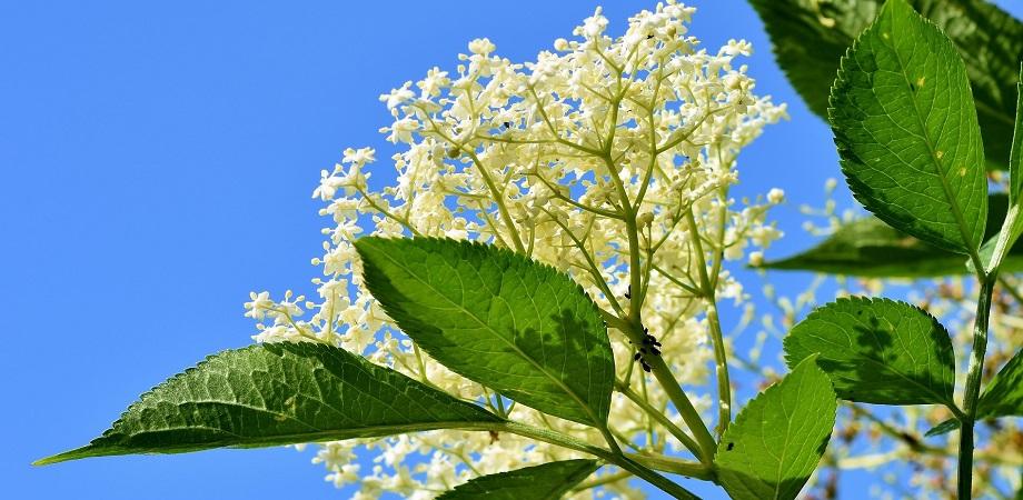 floarea de soc