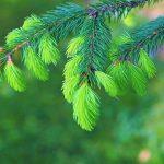 Muguri de brad – beneficii si utilizari