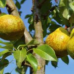 Pere – beneficii, compozitie nutritiva, contraindicatii