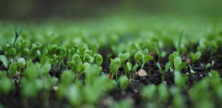 beneficii germeni si vlastari