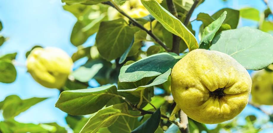 ceaiul din frunze de gutui